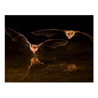 Two bats flying over water, Arizona Postcard
