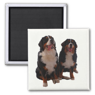 Two bernese magnet
