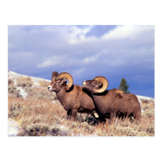 Two bighorn rams Ovis canadensis) on grassy Postcard
