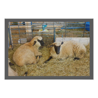 Two Black Faced Sheep In A Barn Poster