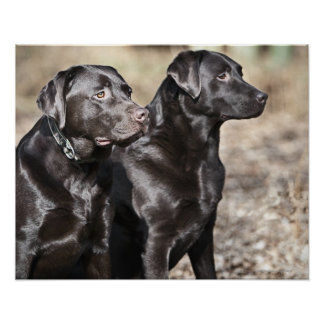 Two Black Labrador retrievers Poster