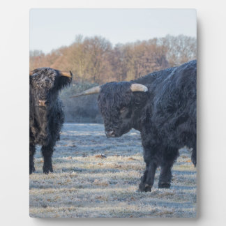 Two black scottish highlanders in frozen meadow plaque