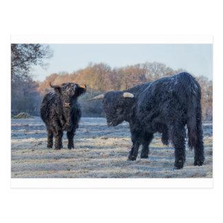 Two black scottish highlanders in frozen meadow postcard