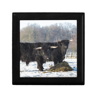Two black scottish highlanders in winter snow gift box