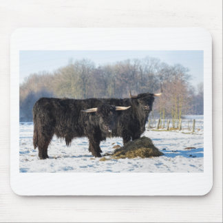 Two black scottish highlanders in winter snow mouse pad