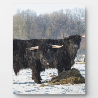 Two black scottish highlanders in winter snow plaque