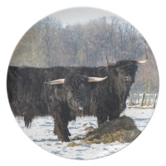 Two black scottish highlanders in winter snow plate