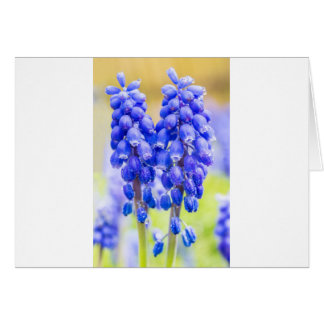 Two blue grape hyacinths in spring card