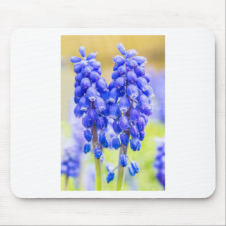Two blue grape hyacinths in spring mouse pad