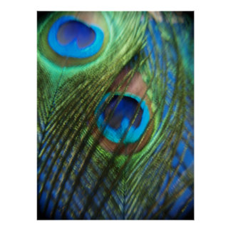 Two Blue Peacock Feathers Poster