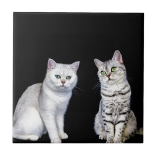 Two british short hair cats on black background small square tile