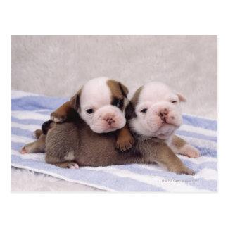 Two bulldog puppies on towel postcard