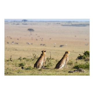 Two cheetahs on the look out photographic print