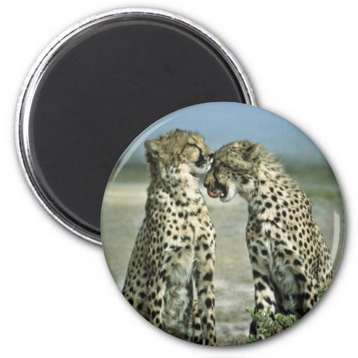 Two cheetahs sitting face to face fridge magnet