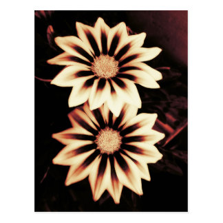 Two Cream Gazanias Postcard