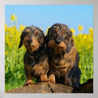 Two Cute Dachshund Dogs Dackel Head Portrait Photo Poster