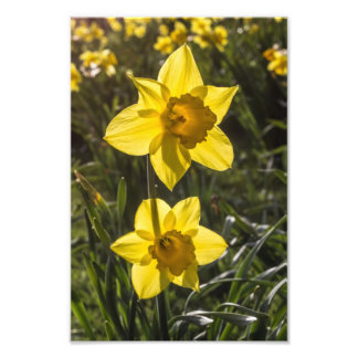 Two Daffodil Flowers Photograph