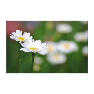 Two Daisies Stretched Canvas Prints