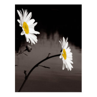 Two Daisies - Selective Color, Black and White Postcard