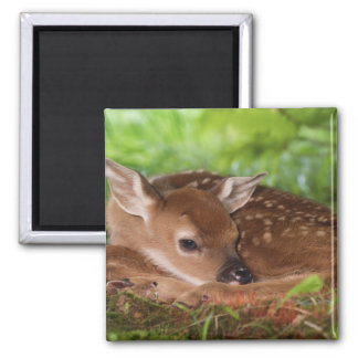 Two day old White-tailed Deer baby, Kentucky. Square Magnet