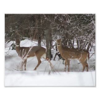 Two Deer Photographic Print