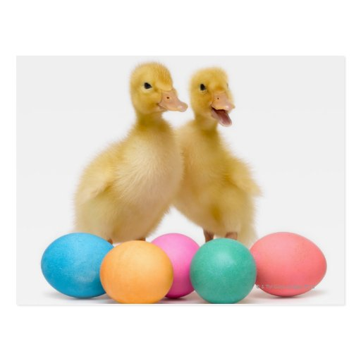 Two ducks with Easter Eggs Postcards