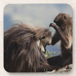 Two gelada baboons (Theropithecus gelada) Coaster