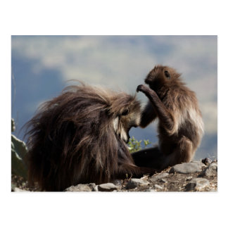 Two gelada baboons (Theropithecus gelada) Postcard