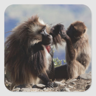 Two gelada baboons (Theropithecus gelada) Square Sticker