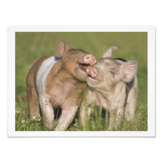 Two Happy Playful Piglets 12 x16 Photo Print