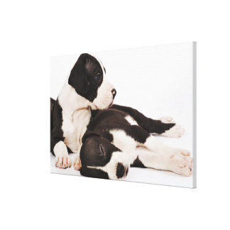 Two Harlequin Great Dane puppies on white Canvas Print