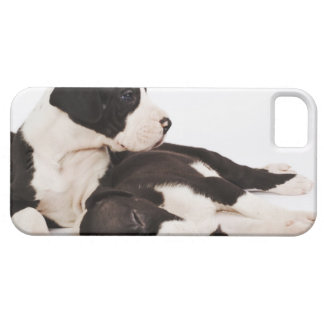 Two Harlequin Great Dane puppies on white iPhone 5 Cases