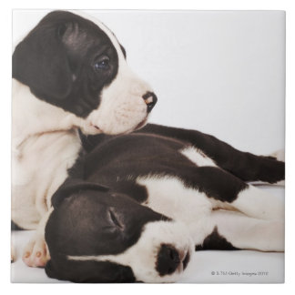 Two Harlequin Great Dane puppies on white Large Square Tile