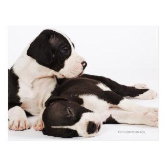 Two Harlequin Great Dane Puppies Postcard