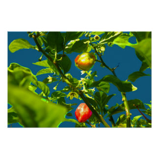 two hot peppers green foliage blue back.jpg print