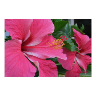Two Hot Pink Hibiscus Poster