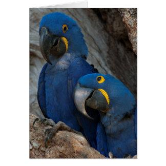 Two Hyacinth Macaws, Brazil Card