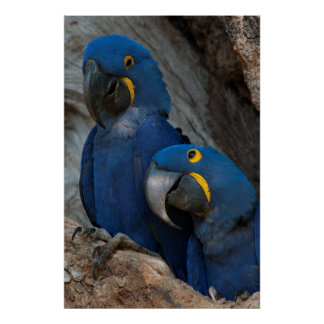 Two Hyacinth Macaws, Brazil Poster