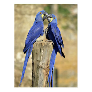 Two Hyacinth macaws Postcard