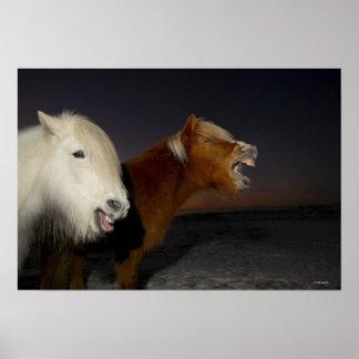 Two Icelandic horses Poster