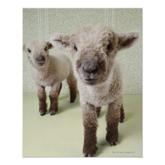 Two Lambs Indoors with Floral Wallpaper Posters