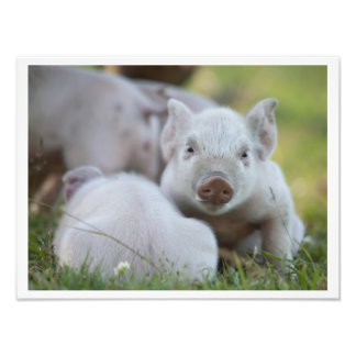 Two Little Pigs Photo Print