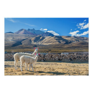 Two Llamas in Bolivia Poster