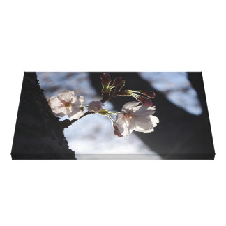 Two lonely cherry blossoms and sunlight stretched canvas print