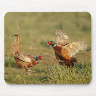 Two male ring-neck pheasants fighting. mouse pad