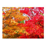 Two Maples in Autumn Post Card