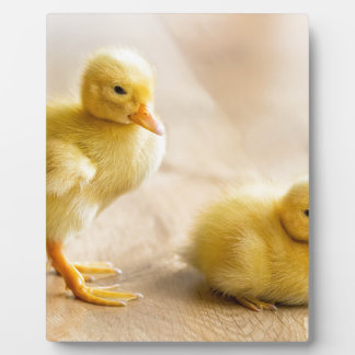 Two newborn yellow ducklings on wooden floor display plaque