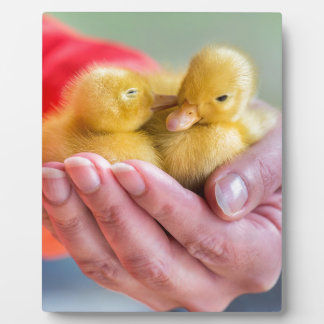 Two newborn yellow ducklings sitting on hand plaque