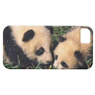 Two panda cubs in the bamboo bush, Wolong, iPhone 5 Cases