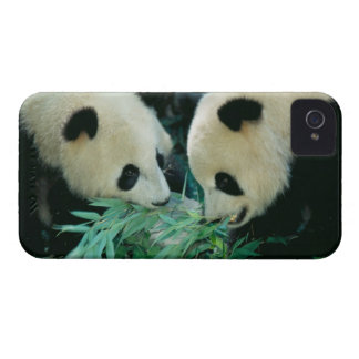 Two pandas eating bamboo together, Wolong, iPhone 4 Case